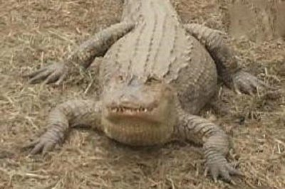 Authorities seize 6-foot pet alligator from Long Island back yard