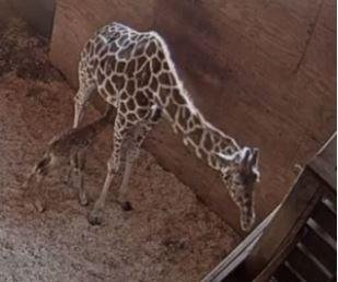 April the giraffe gives birth again during live stream