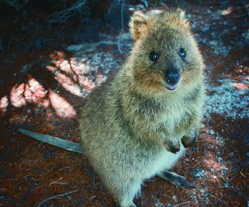Missing quokka escaped Australia island on garbage ship