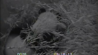 Abnormalities may have killed panda cub