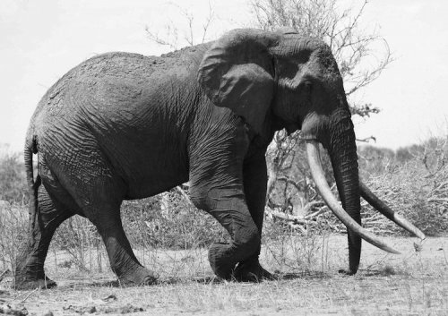 Poachers kill beloved Kenyan elephant for ivory