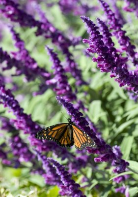 Conservationists fight for monarch butterfly protections