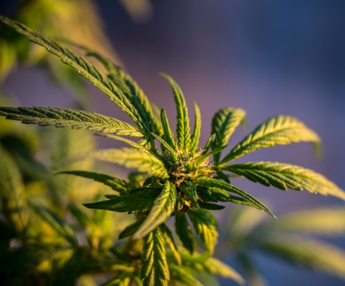 Study: pot cultivation is hurting the environment