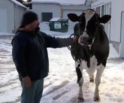 Wisconsin cow produced record 77,480 pounds of milk