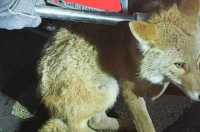 Police help rescue coyote stuck in vehicle bumper