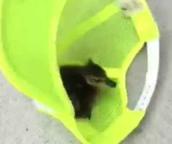 Sous chef uses hat to catch roof-jumping ducklings at New Jersey restaurant
