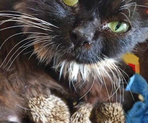 Cat adopts orphaned baby hedgehogs at Russian zoo