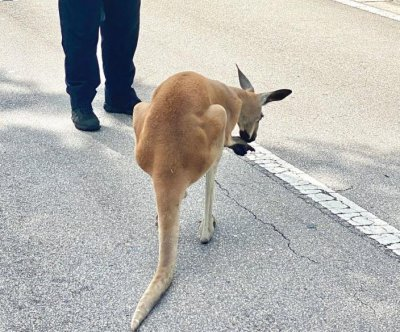Loose kangaroo captured by police in Florida city