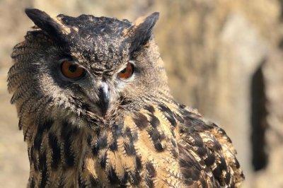 Eurasian eagle owl escapes during training at Minnesota Zoo