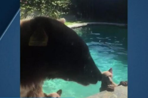 Mama bear and cubs take a dip in California couple's pool