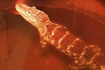Alligator seized from home in New York state