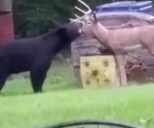 Black bear inspects wooden deer in Missouri backyard