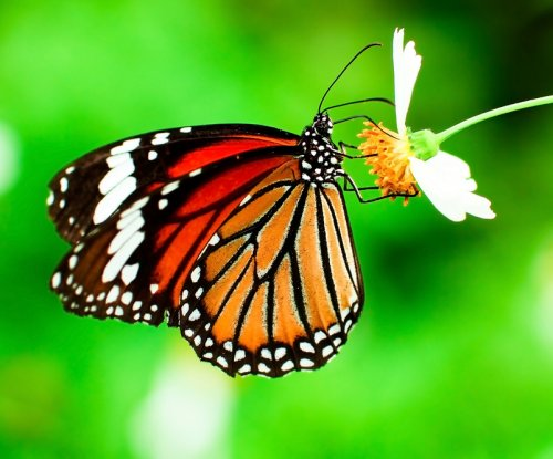 Dearth of milkweed not the monarch butterfly's main threat