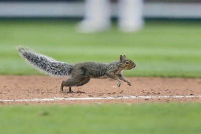 Wild squirrel invasion inspires St. Louis Cardinals to beat Detroit Tigers
