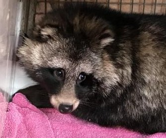 Raccoon dog found living under British family's deck