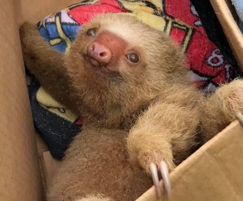 Costa Rica lodge owners rescue soggy baby sloth from beach rocks