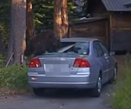 Sergeant shoots out car window to free trapped bear