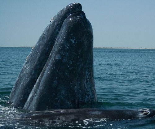 Gray whale travels 14,000 miles, sets migration record