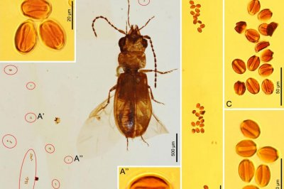 Amber fossil suggests ancient beetle pollinated evergreen cycads