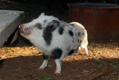 100-pound pet pig stolen from California home