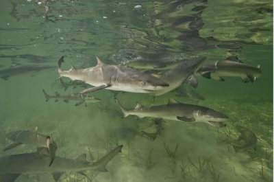 Study confirms sharks return to their own birthplace to give birth