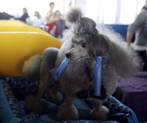 Westminster Kennel Club to crown Best in Show winner Tuesday