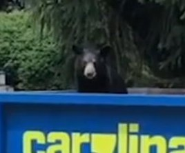 Woman cleaning home discovers bear in dumpster
