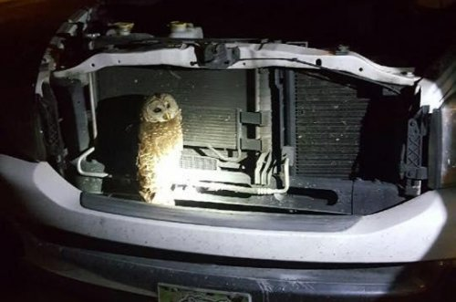 Owl saved from truck grill released by rescuers