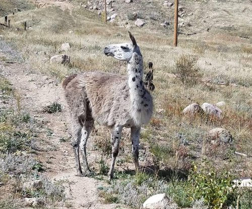 'Aggressive' llama on the loose in Colorado