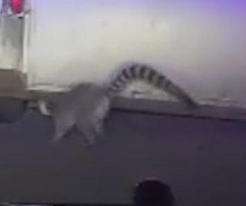 Florida Highway Patrol captures escaped lemur on highway