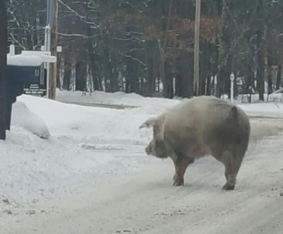 600-pound pig crashes New Hampshire primary