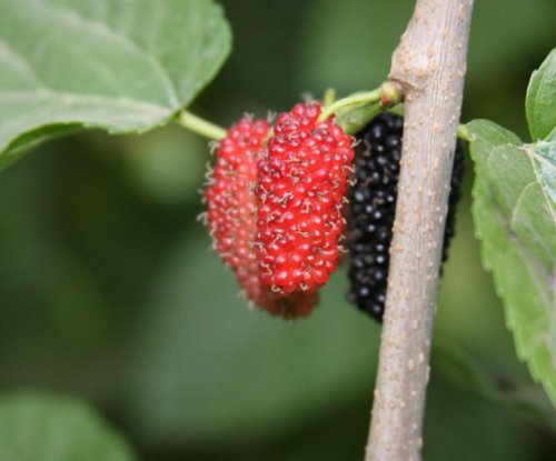 Mulberry extract may 'activate' brown fat, help treat obesity