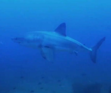 Scuba divers spot great white shark stalking them off Mozambique