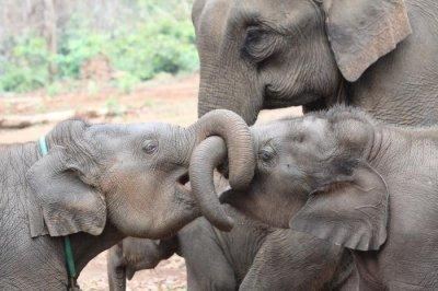 Having older sisters boosts survival odds for elephant calves