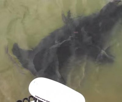 Hammerhead shark bumps boat motor off Florida coast