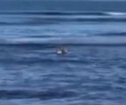 Australian beach visitor captures rare video of koala swimming