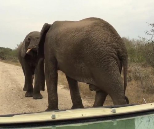 Wrestling elephants block road through South African park