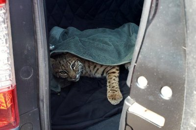 Woman puts injured bobcat in back of SUV with young child