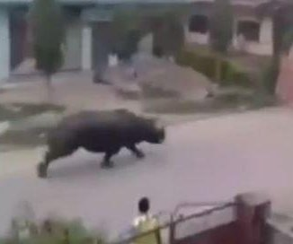 Wild rhino kills woman, chases people in Nepal street