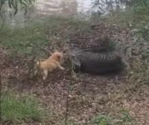 Fearless small dog chases crocodile back into river