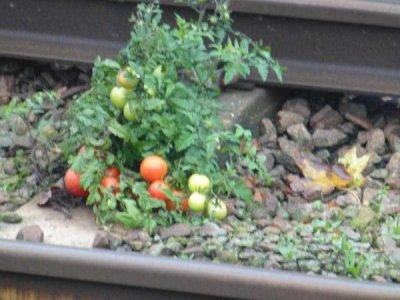 Tomato plant grows where trains dump human waste