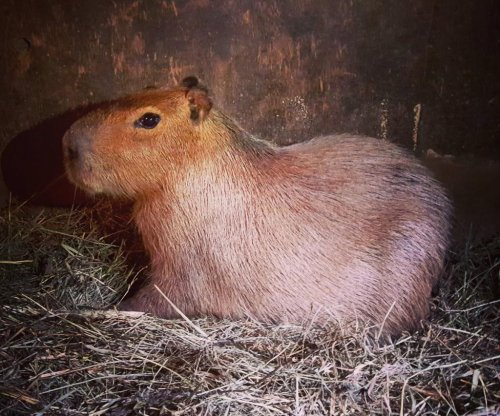 Second escaped Toronto capybara captured