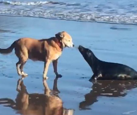 Seal crawls out onto beach for a 'kiss' from dog