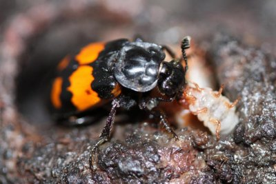 Disabled beetles work extra hard to be good parents