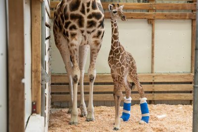 Seattle zoo creates special shoes to help baby giraffe walk