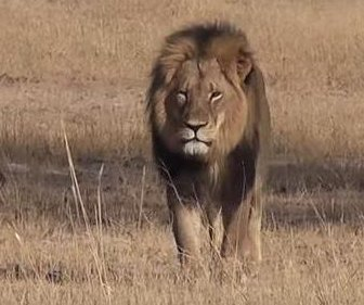 Despite death reports, GPS tracker says lion Jericho 'alive and well'