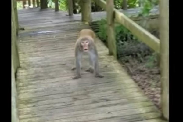 watch  monkeys  u0026 39 attack u0026 39  family visiting silver springs