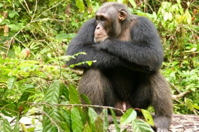 When the competition heats up, chimps get stressed out