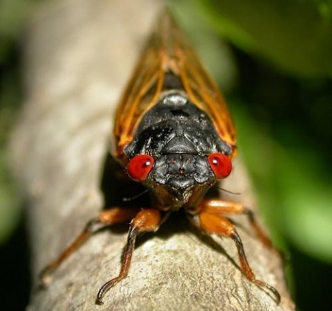 Navy studies cicadas to develop better sonar
