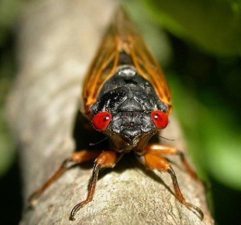 Navy studies cicadas to develop better sonar